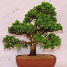 Image Artificial 50 Juniper Bonsai Tree Potted Flowers Office Bonsai Purify The Air Absorb Harmful Gases Juniper Seeds Free Shipp Iseeds Iseeds 50 Juniper Bonsai Tree Potted Flowers Office Bonsai Purify The Air