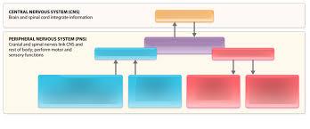 Cns And Pns Chart Cns Pns Flow Chart Diagram Quizlet