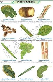 Plant Diseases For Botany Chart