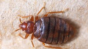 Bed Bug Bites Symptoms and Treatments