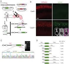 Developing A De Novo Targeted Knock In Method Based On In Utero