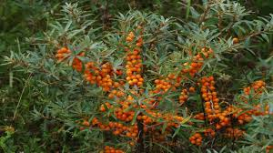 Image result for hippophae rhamnoides