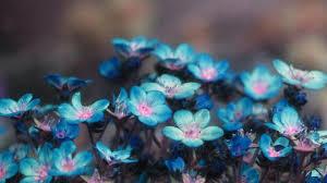 blue flower wallpapers 1920x1080 full