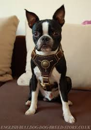 boston terrier harness of nappa padded leather royal design