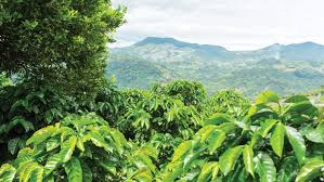The ideal conditions in costa rica for growing coffee is within the central valley, where the soil is fertile, it is a higher altitude, and a cool climate which all helps to contribute to the. Costa Rica Intercontinental Coffee Trading Inc