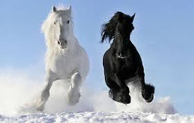 black horses in snow. Interesting Horses Image Is Loading FramedPrintWhiteandBlackHorsesRunningin Inside Black Horses In Snow E