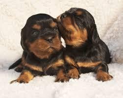cavalier king charles spaniel black and tan puppy. Contemporary Cavalier Black U0026 Tan Cavalier King Charles Spaniel Puppies Throughout And Puppy