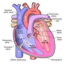 Cardiac Anatomy Chart Mitral Valve Wikipedia