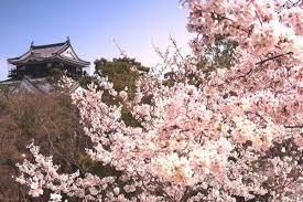 「岡崎公園ソメイヨシノ満開画像」の画像検索結果
