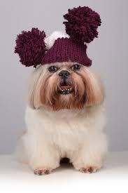 shih tzu in a knitting hat