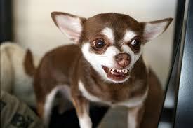 baring teeth dog. baring teeth dog o
