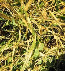Turf Disease Turf Diseases Pests