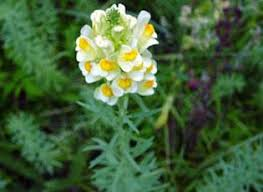 Yellow Toadflax | National Invasive Species Information Center ...