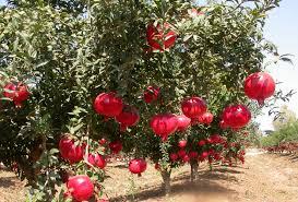 Persimmon Mini Tarts  My Persian KitchenIranian Fruit Trees
