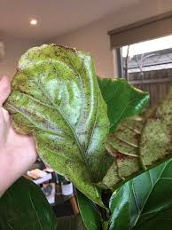 fiddle leaf fig growing new leaves with brown red dots