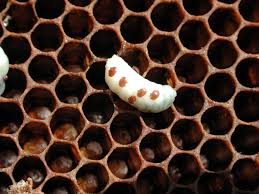 Varroa Mites Bees Archenemies Have Genetic Holes In