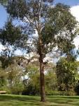 eucalypt ovata