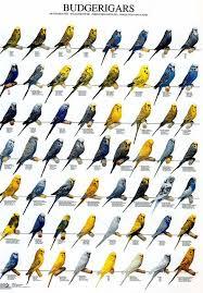 56 Budgie Color Mutations Not Including Albino Pet Birds
