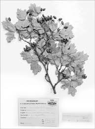 Crataegus ×macrocarpa nothovar. macrocarpa – a flowering shoot ...