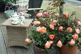 best english roses for pots and containers