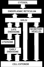 Endomembrane System Flow Chart Lecture 27 Protein Targeting Endoplasmic Reticuluum