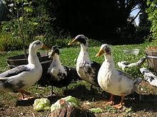 List Of Duck Breeds Wikipedia
