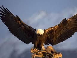 Small Picture Bald Eagle Facts For Kids Bald Eagle Diet Bald Eagle Habitat