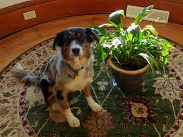 peace lily and dogs is peace lily toxic to dogs home houseplants