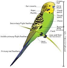 Parakeet Growth Chart Budgerigar Wikipedia