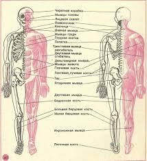 ОПОРНО ДВИГАТЕЛЬНАЯ СИСТЕМА СКЕЛЕТ И ЕГО ФУНКЦИИ Анатомия  СКЕЛЕТ И ЕГО ФУНКЦИИ