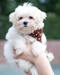 maltese dog. 13731364_1565860627050678_1942491221_n maltese dog