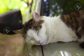summer outdoor backgrounds. Cat Nap Sleeping On The Warm Car Close Up Photo Summer Outdoor Background Stock Backgrounds H