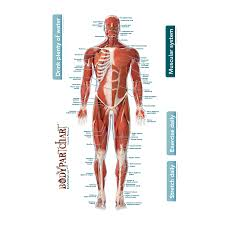 Muscular System Front Labeled Body Part Chart Removable Wall Graphic