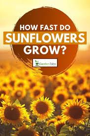 how fast do sunflowers grow garden tabs