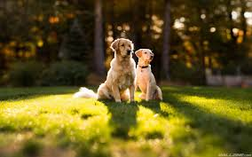 dogs wallpaper. Brilliant Dogs Golden Retriever Dogs Wallpaper Throughout O