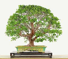 the five best times to give the gift of bonsai