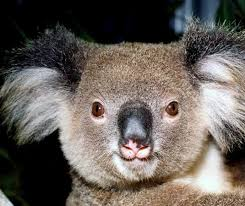 NSW <b>Koala</b> Strategy | NSW Environment, Energy and Science