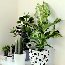 Buy all indoor plants online at Nursery Live | Largest plant nursery in  india