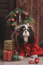 cute dog with gifts and decorations on rustic wooden background cavalier king charles spaniel celebrating new year photo by mashiki