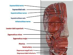 arteries of the face scalp face anatomy e lab