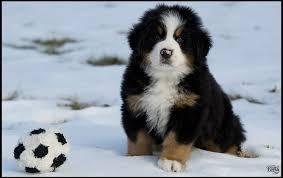 bernese mountain dog puppies. Modren Dog With Bernese Mountain Dog Puppies T