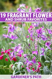 19 fragrant flower and shrub favorites for your garden