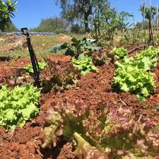 Organic Kitchen Garden 5 Easy Veggies To Start Your Kitchen Garden Chapter Fiftychapter