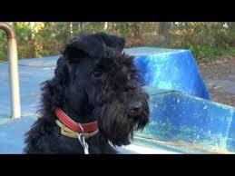 <b>Kerry</b> blue terrier (6 months): training and running/<b>Керри блю</b> ...