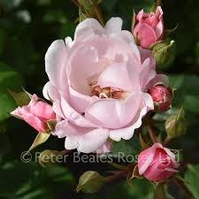 Kitty's Rose (Shrub Rose)   Peter Beales Roses - the World Leaders ...