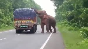 <b>Elephant</b> Stops And Eats Potatoes From Truck On Road - YouTube