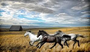 white horses photograph running horses painting by steve mckinzie