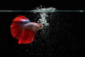 Jenis Ikan Cupang Ekor Panjang
