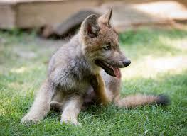wolf pup at busch gardens