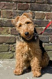 dog welsh terrier animal beautiful ...
